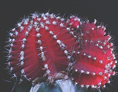 por que injertar cactus
